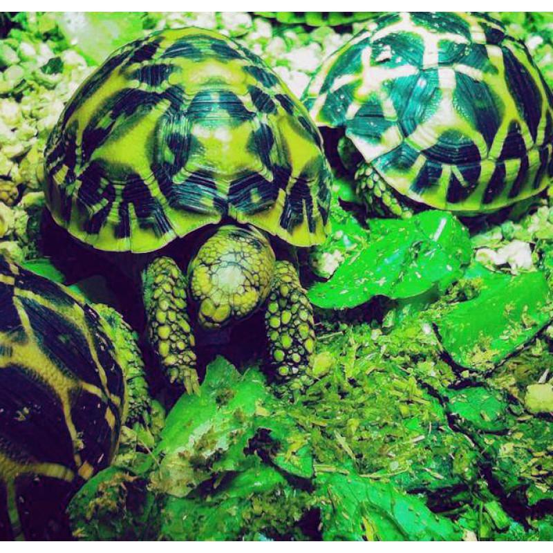 tortoise indian star