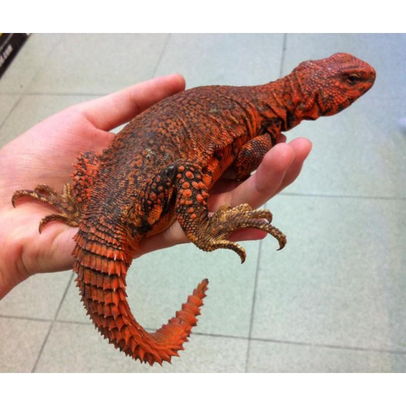 Ornate Spiny Tailed Lizard Uromastyx Ornata