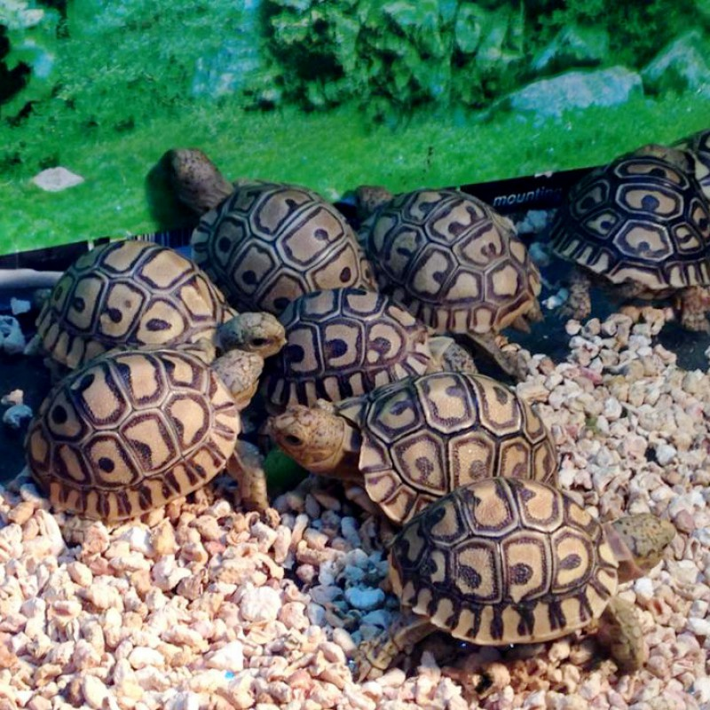 Leopard Tortoise Adult